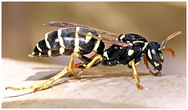 Insectes de coudouli re la gu pe poliste for Repulsif guepe piscine