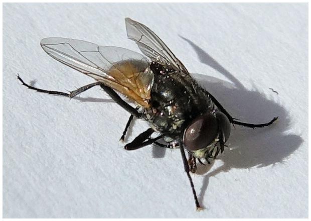 insectes de coudouli re la mouche domestique. Black Bedroom Furniture Sets. Home Design Ideas