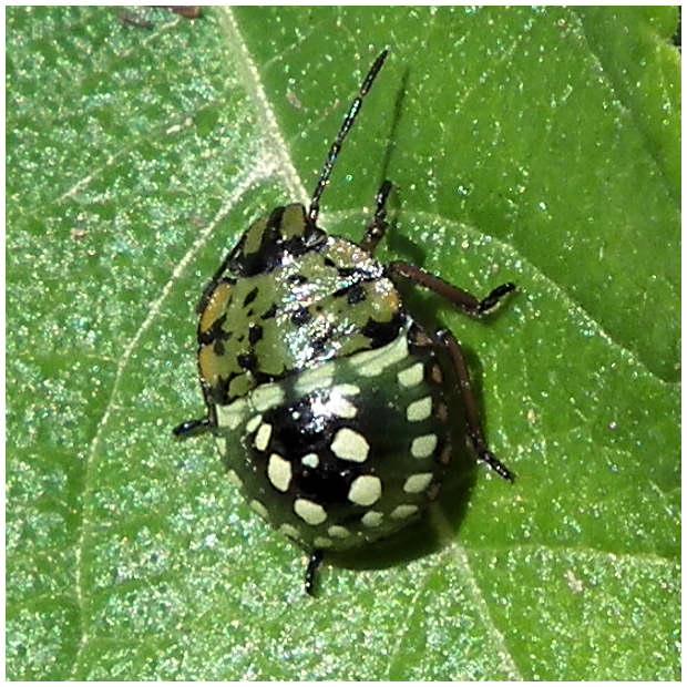 Insectes de coudouli re la punaise verte puante - Que mange les punaises ...