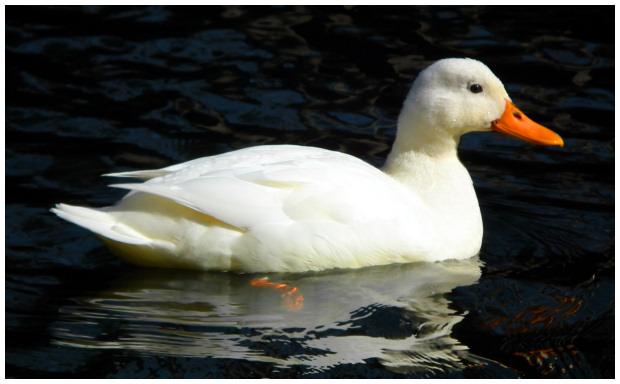 Oiseaux de coudouli re le canard de p kin - Cuisiner les aiguillettes de canard ...
