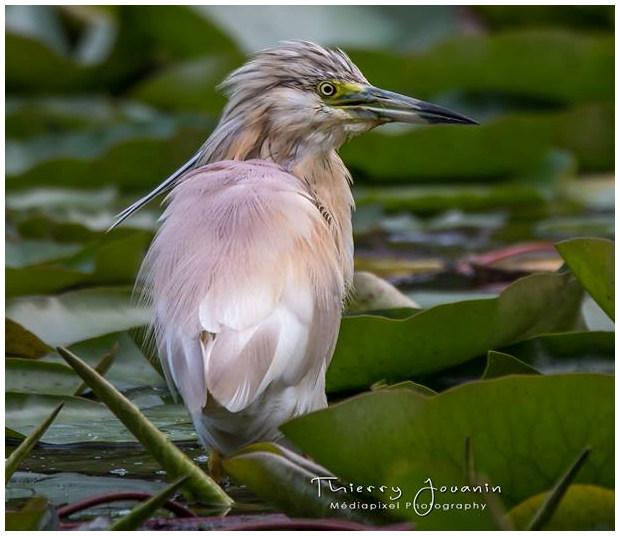 un oiseau - ajonc - 18 décembre Crabier-chevelu-2